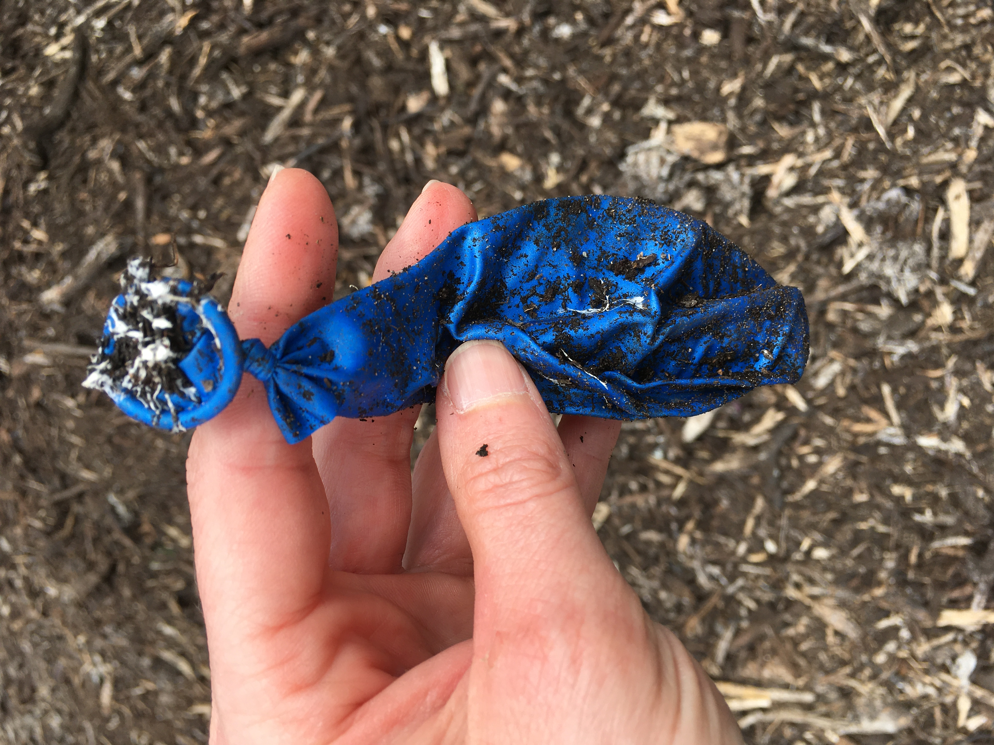 A latex balloon removed from compost after 14 weeks. Picture: Morgan Gilmour